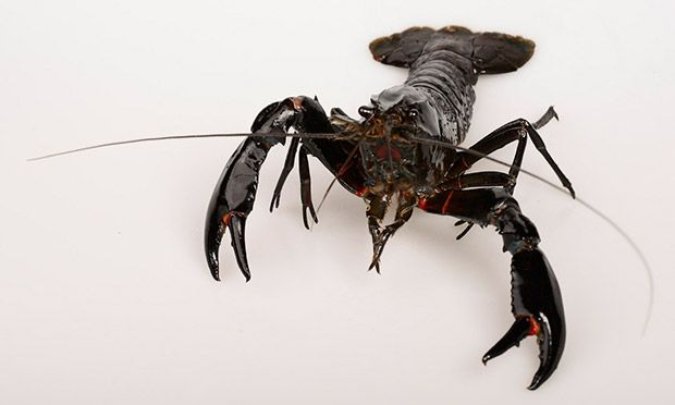 Max Veenhuyzen: Indigenous to Western Australia, these distinctive freshwater crayfish are appreciated for their sweet, delicate flavour