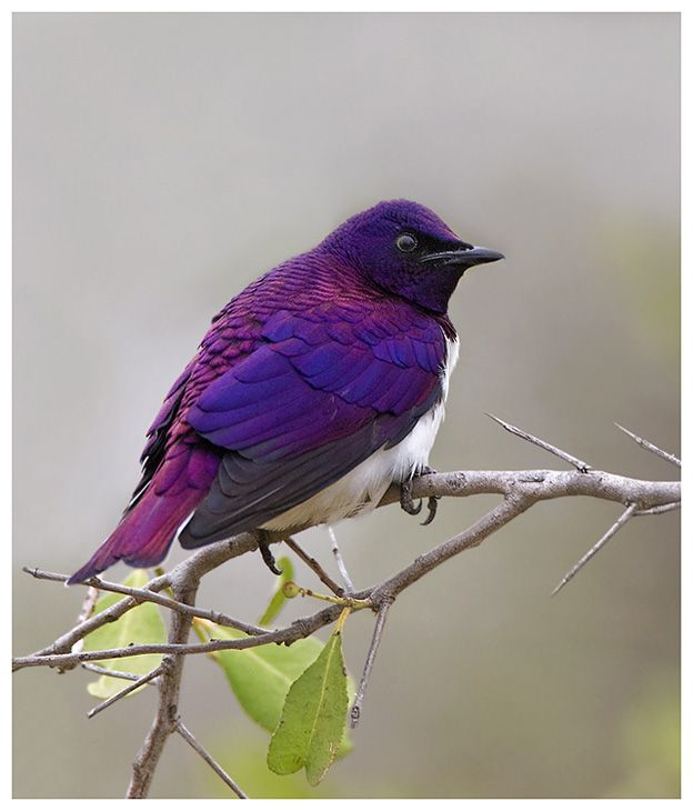 The Violet-backed Starling (Cinnyricinclus leucogaster), also known as the Plum-coloured Starling or Amethyst Starling, is a relatively small species of starling in the Sturnidae family found widely in woodland of mainland sub-Saharan Africa.