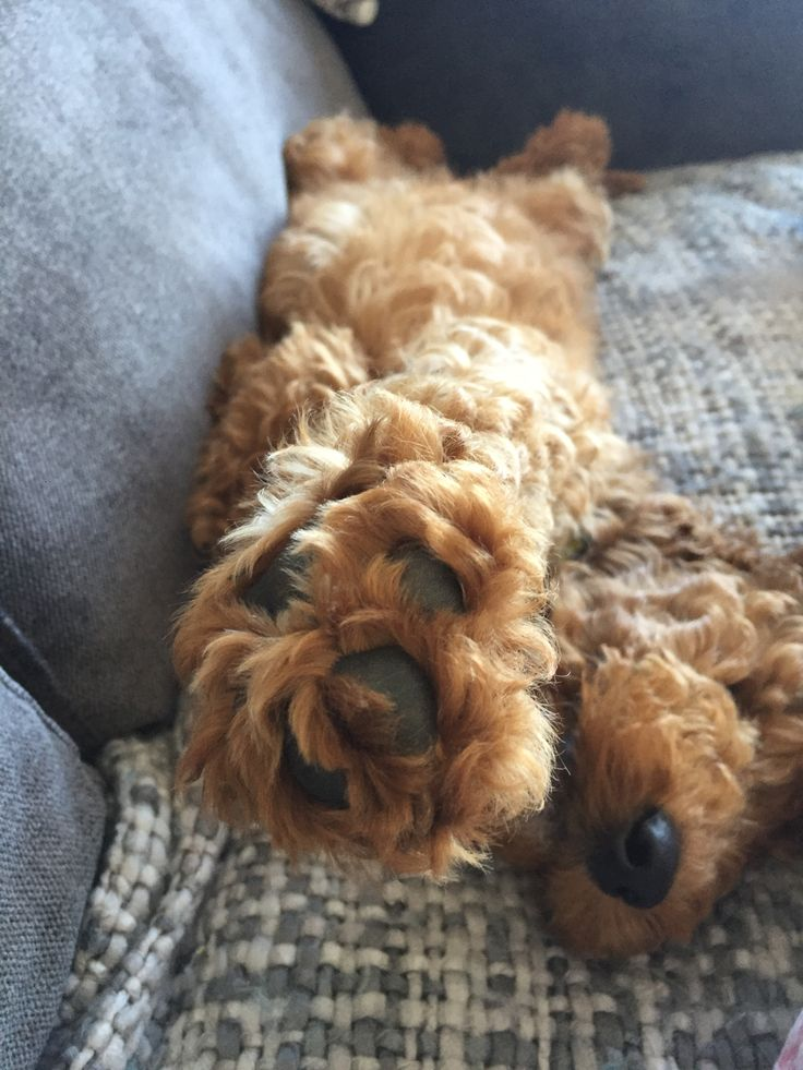 Pin by Fordy on Pooches Labradoodle puppy, Puppy care
