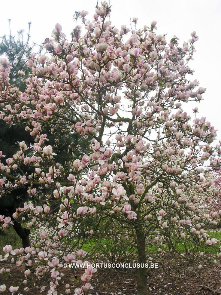 Magnolia 'Pickard's Snow Queen' - Sierboom - Hortus Conclusus  - 2