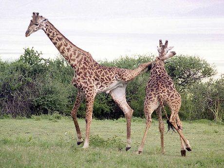 kick boxing giraffe the baby giraffe encyclopaedia of