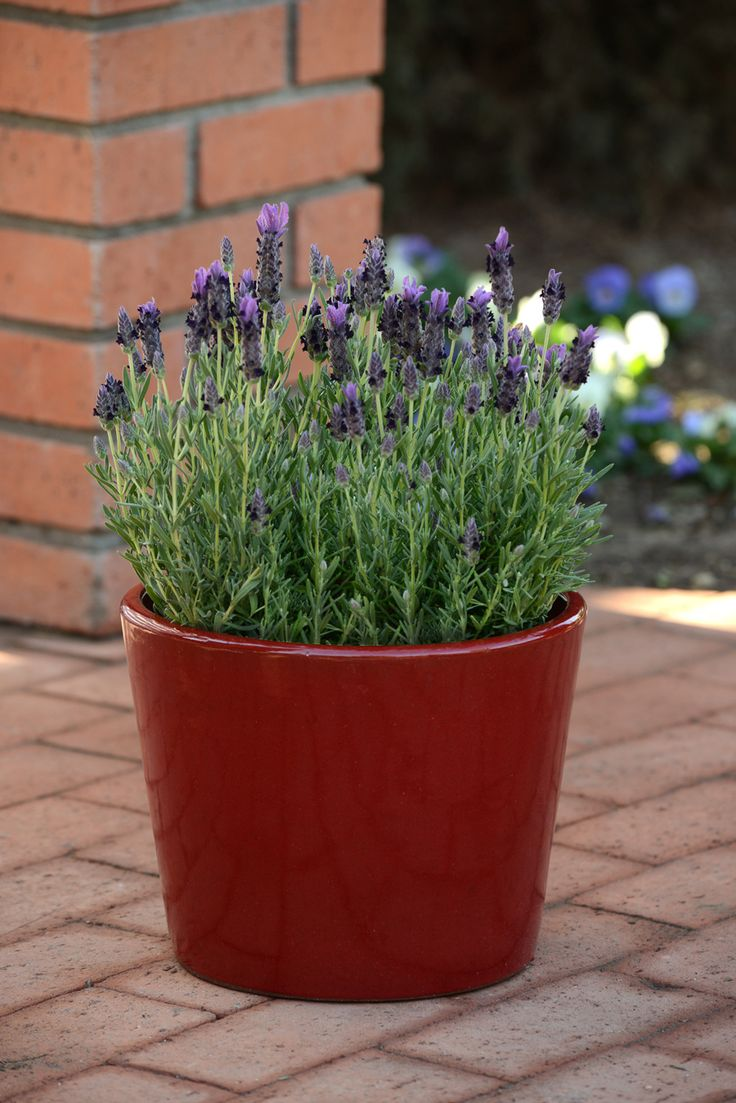 Tried & True Lavender Bandera: a garden-must have. Gives you the sweet and calming aroma of lavender in a compact package.