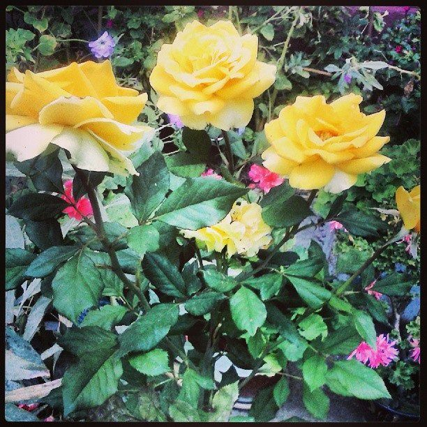 #Beautifulroses