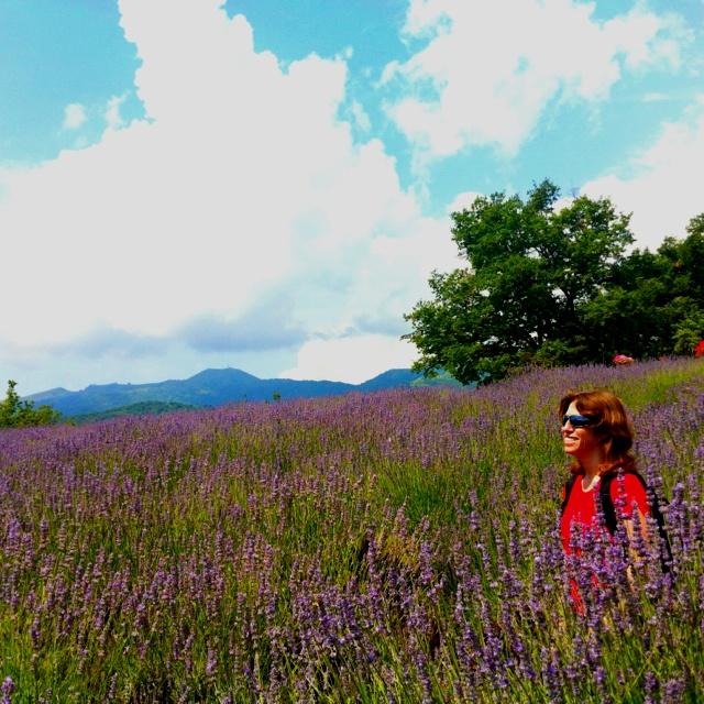 Campo di lavanda nella Riviera dei Fiori - Lavender field in the Riviera dei Fiori (Italian Riviera)