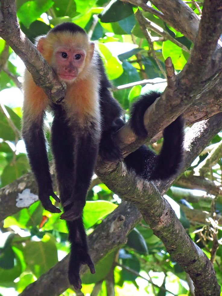 Monkeys in Manuel Antonio Park,  Costa Rica I saw many families of these in Cahuita also!