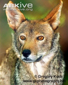 Red Wolf. Once roamed the Southeastern United States but became extinct in the wild by 1980.  In 1987 they were reintroduced into the wild and are said to be successfully breeding.
