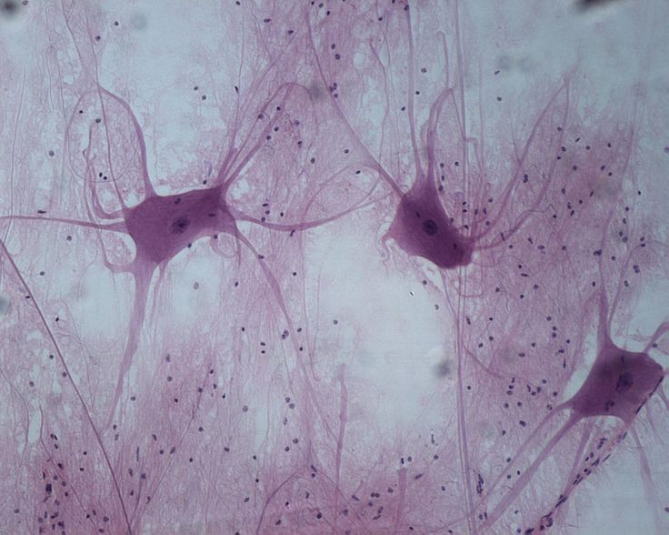The nervous tissue is the source of communication throughout the body. Nervous cells are composed of neurons, specialized cells that allow communication throughout the body. Nervous tissues cannot replication, therefore, you are out of luck if one atrophies. Nervous tissues are found in the brain, spinal cord, and the peripheral nerves. There are neurons and neuroglia.