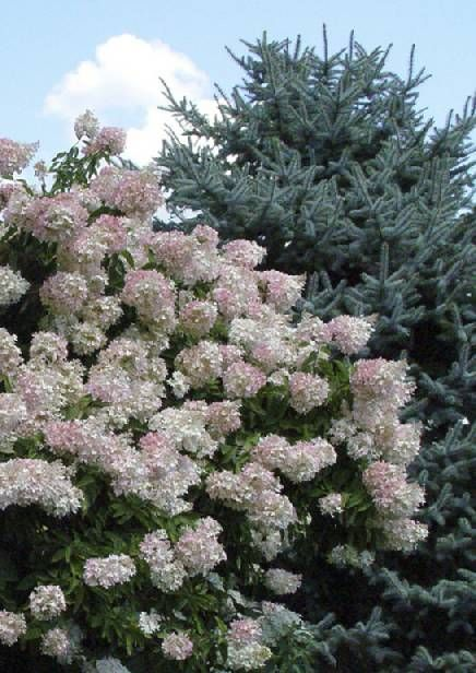 Peegee Hydrangea 'Grandiflora' - Bush, can be gown as tree, mid to late summer white flowers turn to pink and then tan in late fall.  up to 15-20', full or partial sun, vigourous, trouble free. Along back of the house?