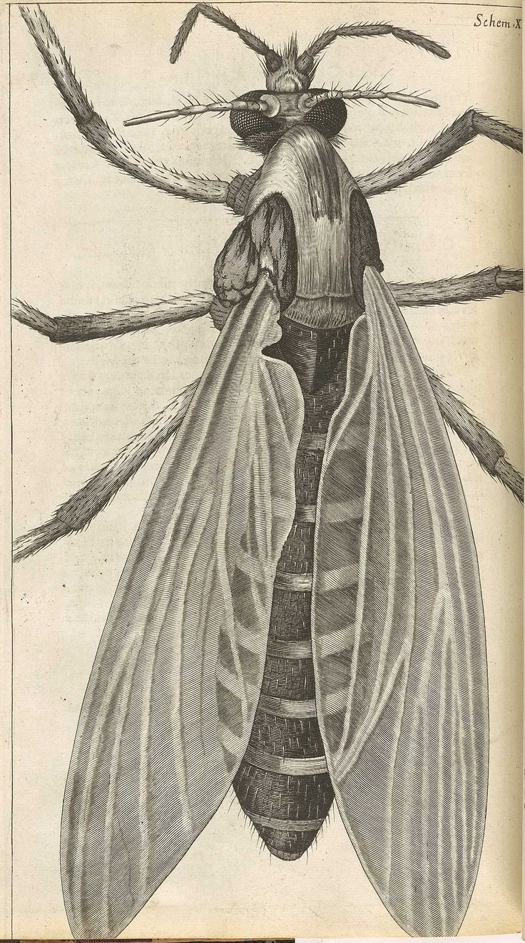 Robert Hooke (Micrographica): Art Projectsto, Hooks Gnat, Hooks T29 Jpg 1200 2158, Hooks Micrographica, Illustrations Drawings, Robert Hooks, Art Projects To, Flowers Insects, Birds Butterflies Insects