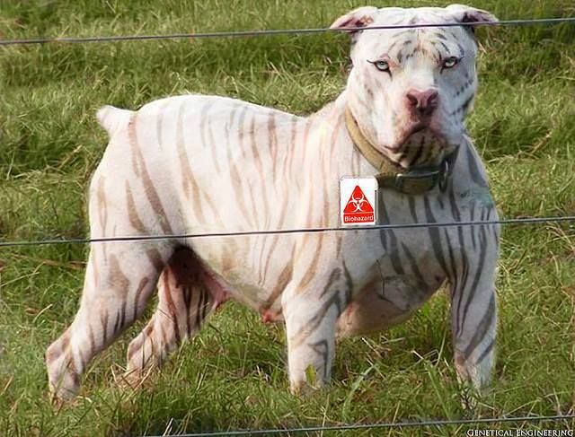 Dogo Argentino vs Pitbull | 419467 651929748166017