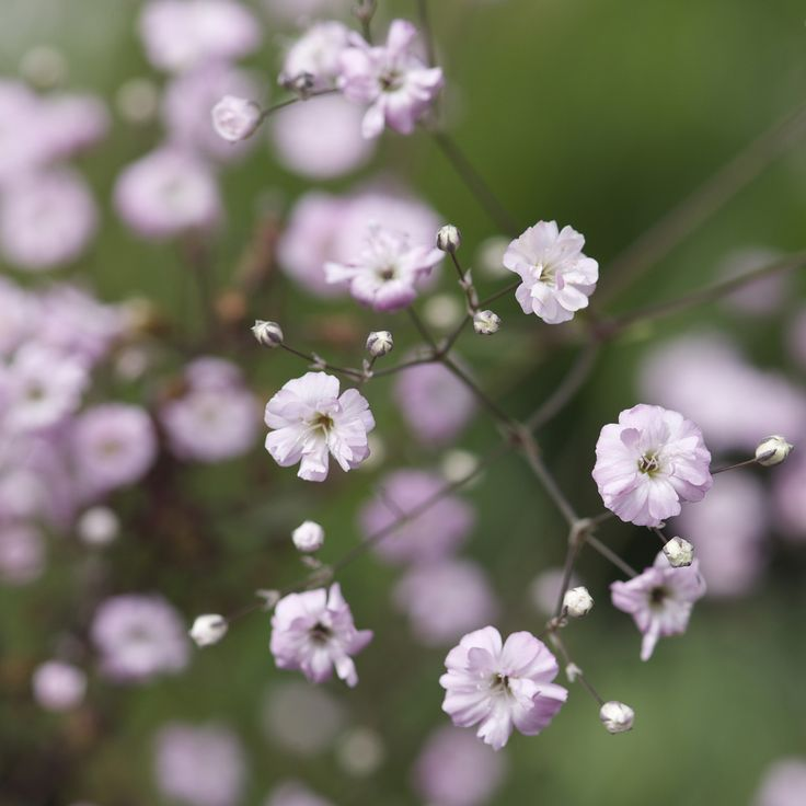 ideas for wedding pictures in the rain - Gypsophila paniculata Festival Pink Baby s Breath