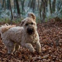 #dogalize Razze cani: il cane Irish Terrier carattere e prezzo #dogs #cats #pets