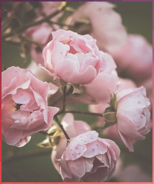 Flower pastel rose gold wallpaper iphone. Dusty pink roses Art Print by Sirpa K in 2020   Pastel ...