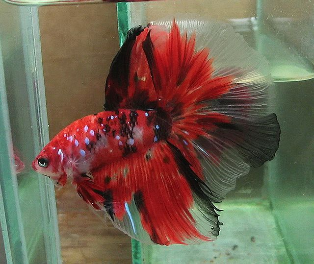 Fwbettashm1418333975 fancy red koi male siribettafarm for Exotic koi fish