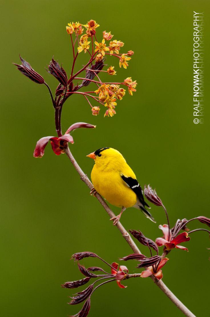 American Goldfinch (Spinus tristis) ♂ Hamilton, Ontario