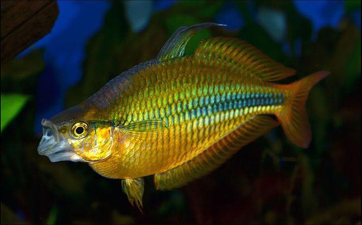 1000 images about rainbow fish on pinterest madagascar for Freshwater rainbow fish