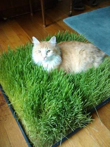 Plant grass seeds with potting mix in a flat container and in just a couple of weeks you'll have a grass bed worthy of Simba himself! Grow a couple in rotation so you can swap them over when one wears out.