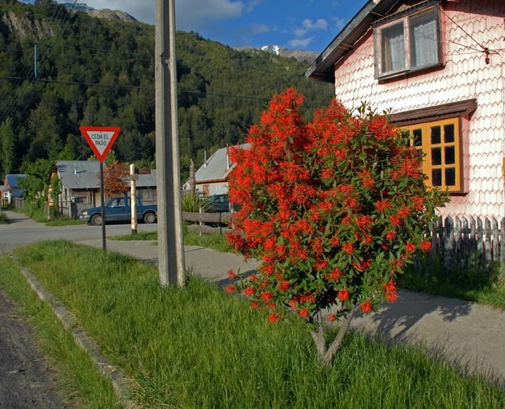 Chilean fire bush (embothrium coccineum) blooming on a street in Futaleufu | from Rincones del Sur http://www.rinconesdelsur.com.ar/wp-content/612-Futaleufu-Notro3.jpg
