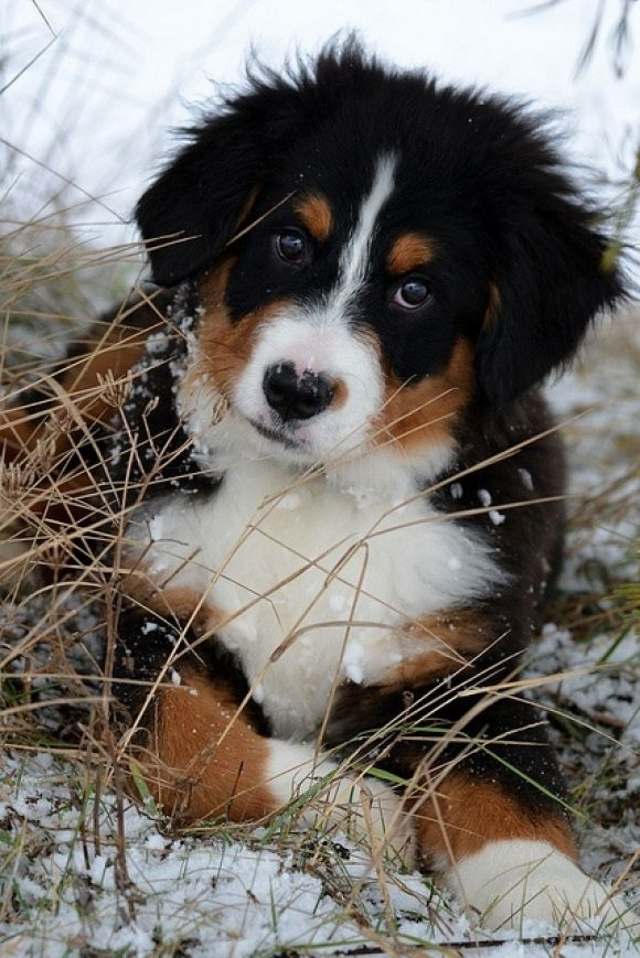 Bernese Mountain Dog; after our labs pass away, these will be the next breed we get:)