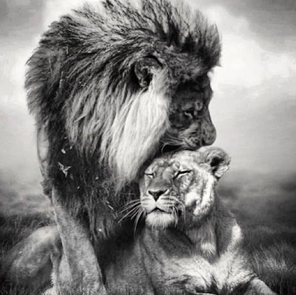 Lion and lioness love quotes quotesgram for Black and white lion tattoo