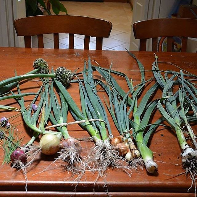 I picked examples of all the different types of onions I