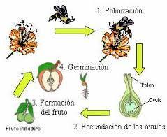 REPRODUCCION EN PLANTAS BASICA PRIMARIA: LA REPRODUCCIÓN EN LAS PLANTAS PARA LOS NIÑOS DE CUARTO GRADO DE BASICA PRIMARIA
