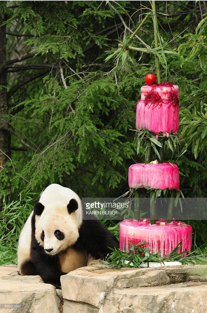 Giant panda Tai Shan with his 'cake' during his 4th birthday celebration at the Smithsonian's National Zoo on July 9, 2009 in Washington, DC. Tai Shan was presented with an ice cake made of water, bamboo, shredded beets, and beet juice. The icy masterpiece was topped with a sculpted bamboo '4' AFP PHOTO/Karen BLEIER