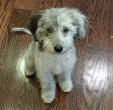 Jax the Australian Shepherd Mix -- Dog Breed: Australian Shepherd / Poodle