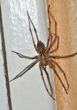 "Giant House Spider. Tegenaria Duellica. Found all over the Pacific Northwest. Don't let their size fool you. They can be up to 4"" across but don't kill them! They kill and eat hobo spiders, for which they are often mistaken.  But unlike hobos, which are generally only about 1"" across, are aggressive, and whose bites can be very painful, tegenaria duellica are harmless."