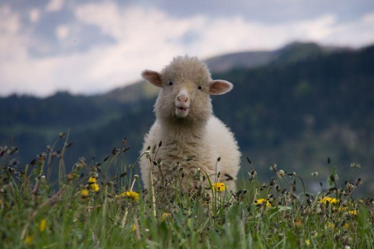 sheepy! No paws, but soft :): Chubby Cheek, Happy Baby, Baby Lamb, The Faces, Angelina Jolie, Baby Animal, Baby Sheep, Fields, Baby Orangutans