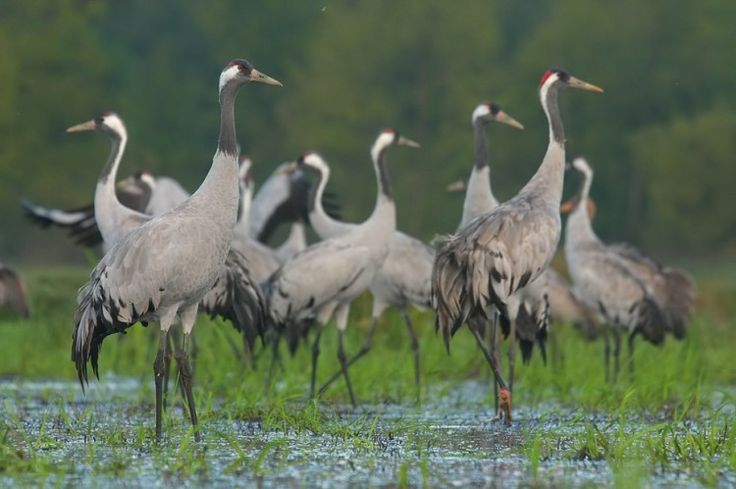 Żurawie (Grus grus) | Portal Turystyczny Bagien Biebrzańskich Biebrza Eco-Travel fot. Ł. Łukasik