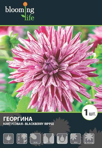 Dahlia-Blackberry-Ripple.jpg (344×500)