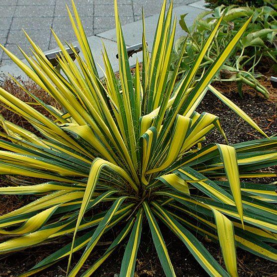Yucca filamentosa 'Color Guard' (Adam's needle) - Backyard hillside