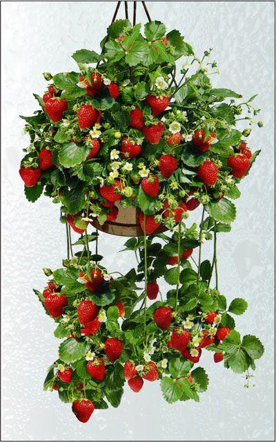 Nutrientes, sabrosas y decorativas: cultivo de fresas en macetas colgantes.