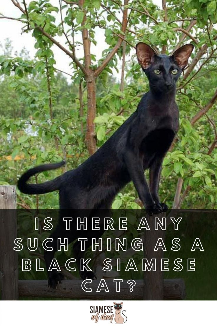 Black Siamese Cat Is There Such A Breed Siameseofday In 2020