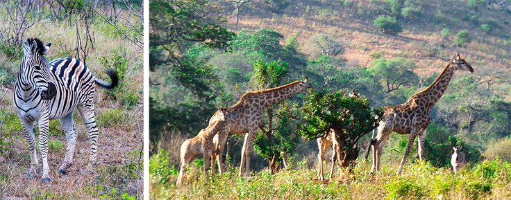 Wildlife wonderland in Hluhluwe-imfolozi game park, South-Africa.    Searching for the Big Five in South-Africa: a guide for safari virgins!