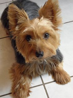 silky terrier cuts - Google Search