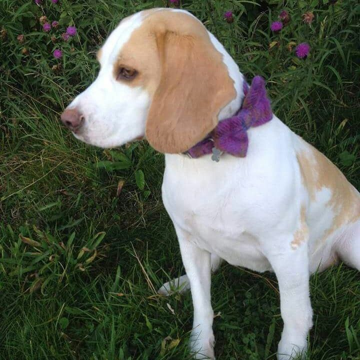 Bowzos bow tie dog collar beagle: