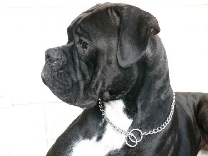 Black Boxer Dogs | Huge spring litter (11) of SEALED BLACK BOXERS for sale in Amherstburg ...