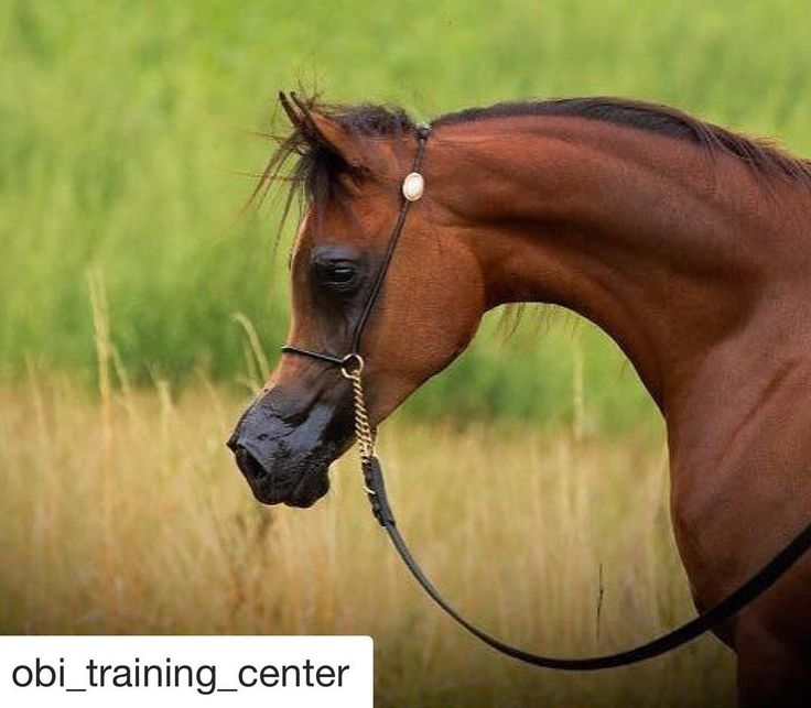 #Repost @obi_training_center  ・・・  HAIFA ED  (Kahil Al Shaqab x Prestic)  .    Yearling Fillies - All Nations Cup 2017  .    Owned by @alsayedstud Presented by @art_nasci Standing at @obi_training_center .  📸 @nawafxj #arabianhorses #equine #arabhorse