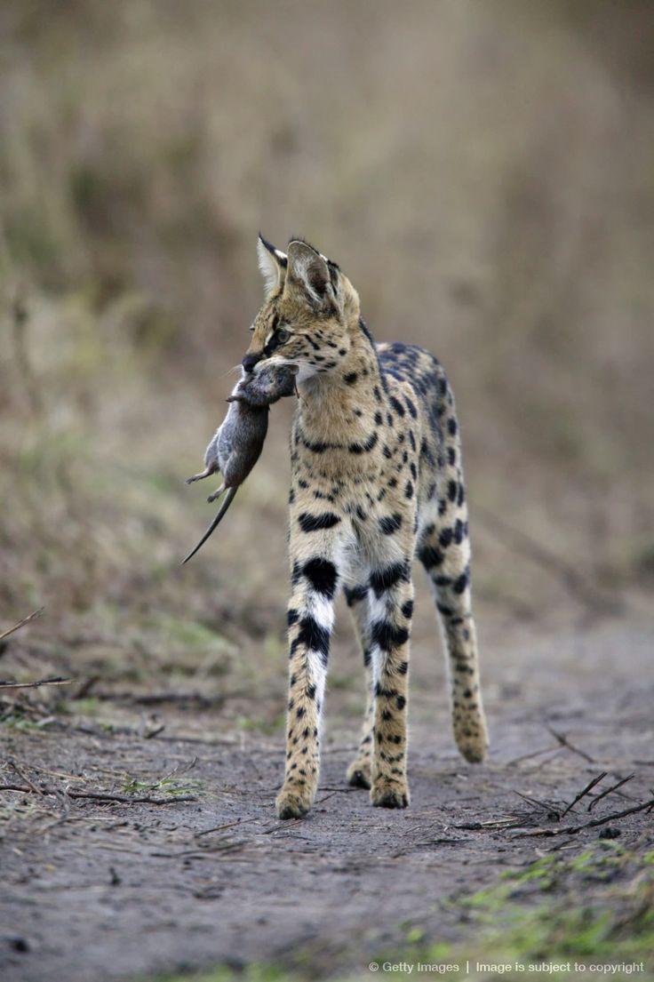 Serval Cat (Felis serval) carrying unidentified rodent kill, Masai Mara, Kenya, Africa