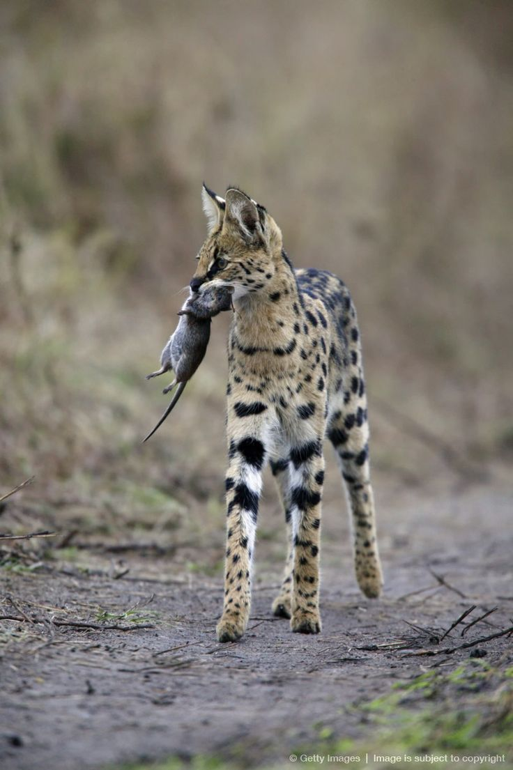 Serval Cat (Felis serval) carrying unidentified rodent kill, Masai Mara, Kenya, Africa