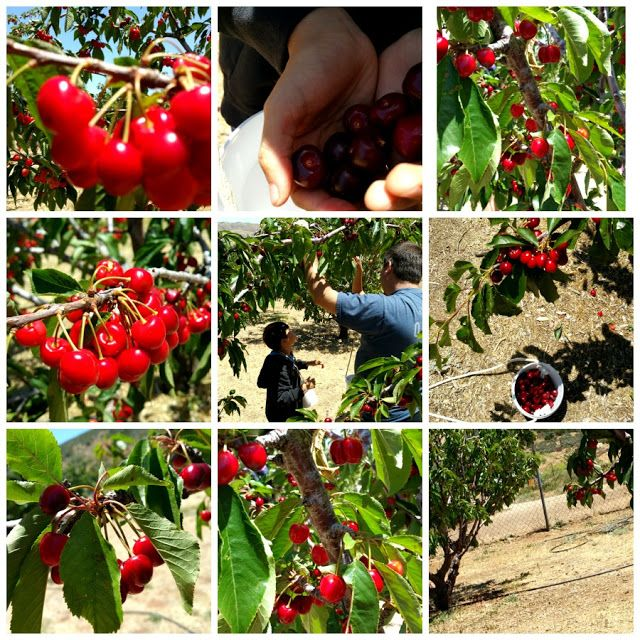 Field Trip Mom : Cherry picking family field trip in Southern Calif...