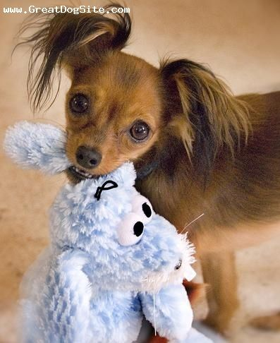 Russian Toy Terrier, 1 year, brown, Courtesy of Karmen Huber  http://www.flickr.com/photos/karmenrose/sets/72157594146915981/