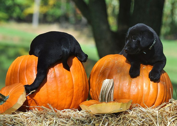 Image result for fall black lab