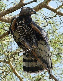 Crowned Eagle, African Crowned Eagle or Crowned Hawk-eagle (Stephanoaetus coronatus) -found in sub-Saharan Africa; In southern Africa it is restricted to eastern areas. | (28842574882).jpg