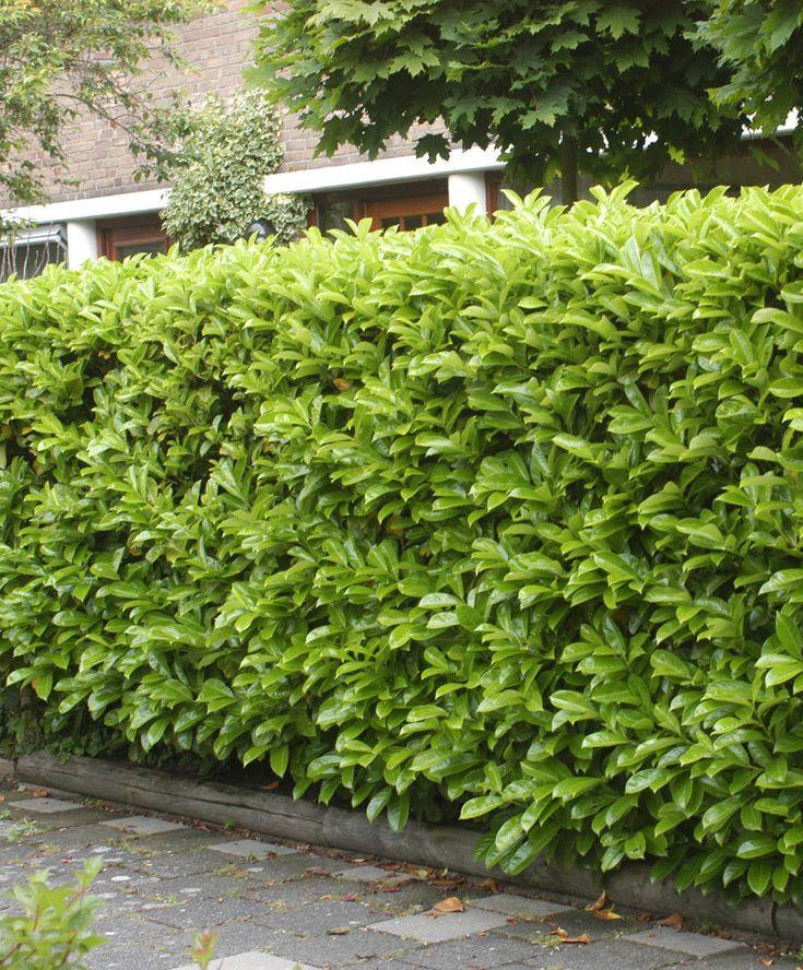Lagerhägg 'Novita' (Prunus laurocerasus) | Zon 1-2. Vintergrön, robust häck med vackra, glänsande, mjukt gröna blad. Den producerar små vita blommor i maj-juni. Lätt att beskära. För en härligt tät häck, plantera 3 plantor per meter. När de vackra vita axen försvinner, visar sig de röd- och svartfärgade bären. Kan användas som en solitär växt eller i form av ett träd. 2-3 m hög.