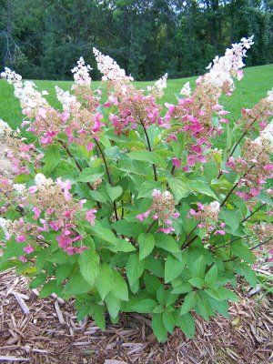 pinky winky hydrangea:  planted one of these last summer....can't wait to see it this season!