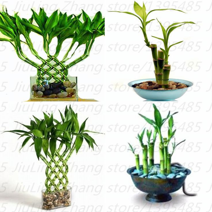 17 best ideas about bamboo seeds on pinterest bamboo palm black bamboo plant and chinese. Black Bedroom Furniture Sets. Home Design Ideas