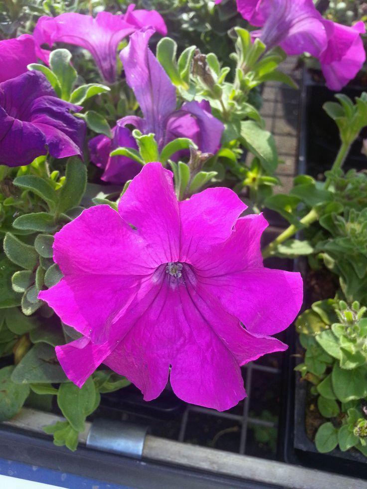 petunia flower 20 pinterest
